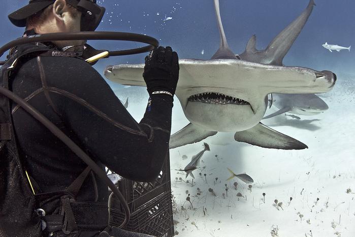 дайвер и акула фото 2 (700x466, 328Kb)