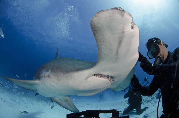 дайвер и акула фото 4 (700x463, 322Kb)