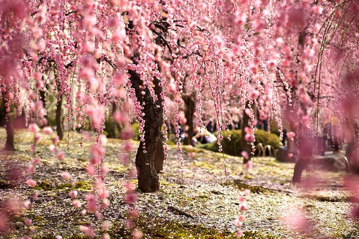 цветение сакуры фото 3 (700x466, 597Kb)