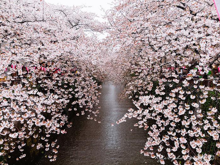 цветение сакуры фото 7 (700x525, 710Kb)