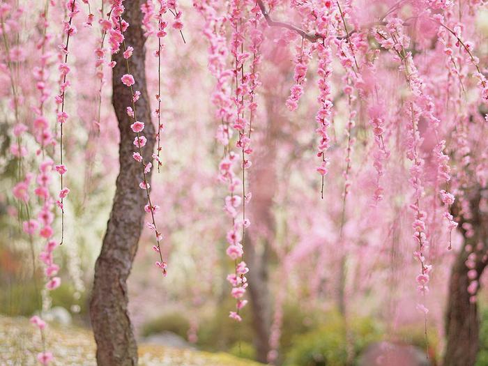 цветение сакуры фото 9 (700x525, 481Kb)