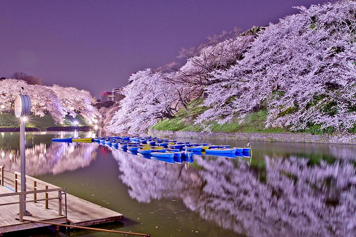 цветение сакуры фото 11 (700x466, 464Kb)