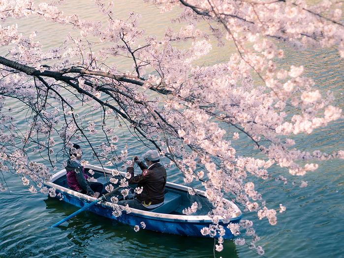 цветение сакуры фото 14 (700x525, 615Kb)