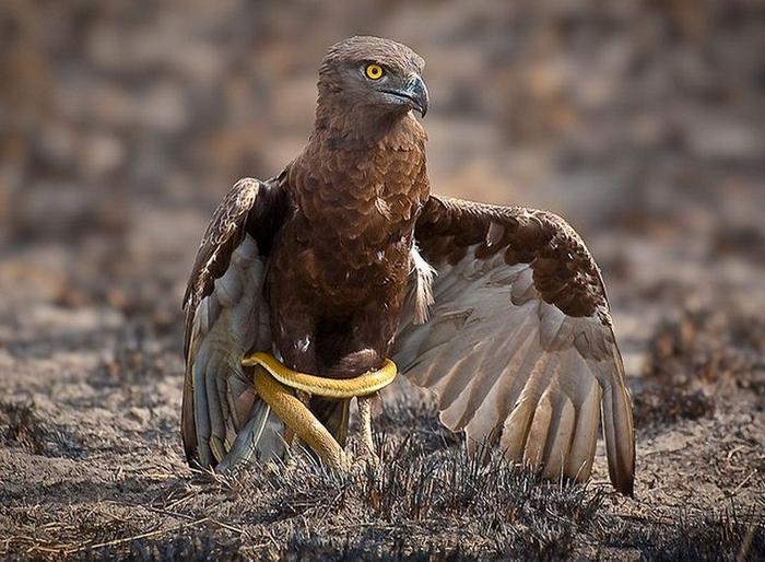 орел-змееяд фото 1 (700x514, 383Kb)