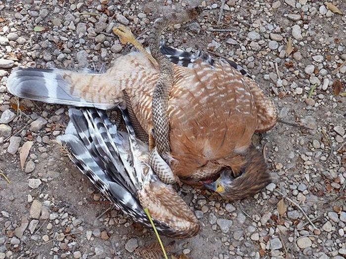 орел-змееяд фото 3 (700x525, 500Kb)