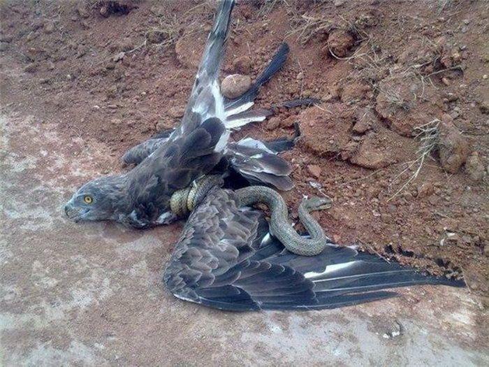орел-змееяд фото 5 (700x525, 366Kb)