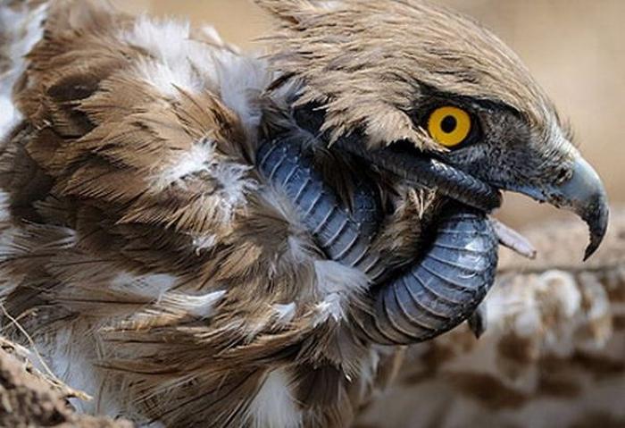 орел-змееяд фото 7 (700x479, 326Kb)