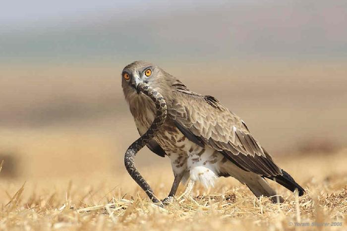 орел-змееяд фото 9 (700x466, 214Kb)