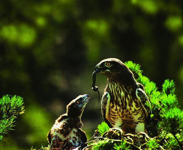 орел-змееяд фото 11 (600x493, 233Kb)