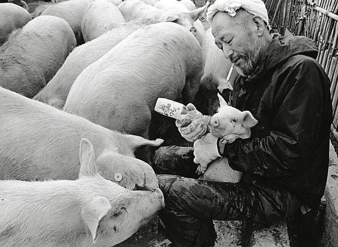 смешные свинки фото 5 (680x496, 184Kb)