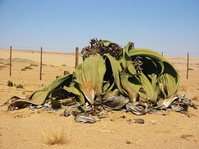реликтовые растения фото 2 (700x525, 457Kb)