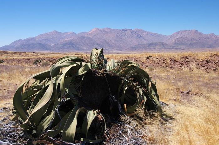 реликтовые растения фото 4 (700x464, 336Kb)