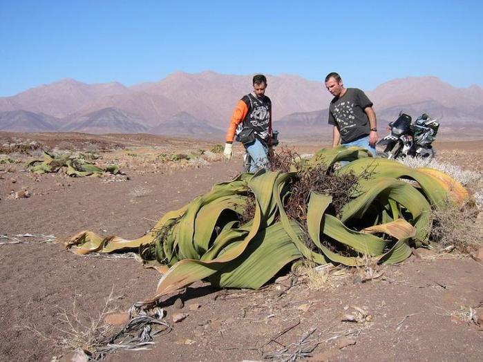реликтовые растения фото 10 (700x524, 365Kb)