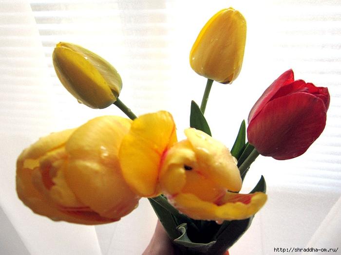 дачные тюльпаны (2) (700x525, 221Kb)