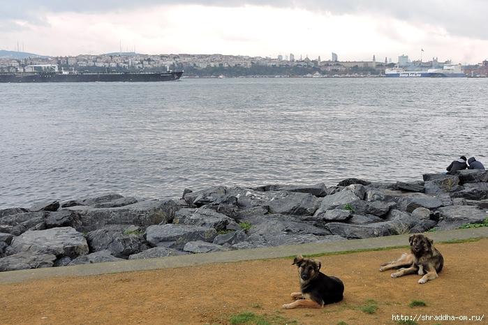 Собаки Стамбула (5) (700x466, 295Kb)