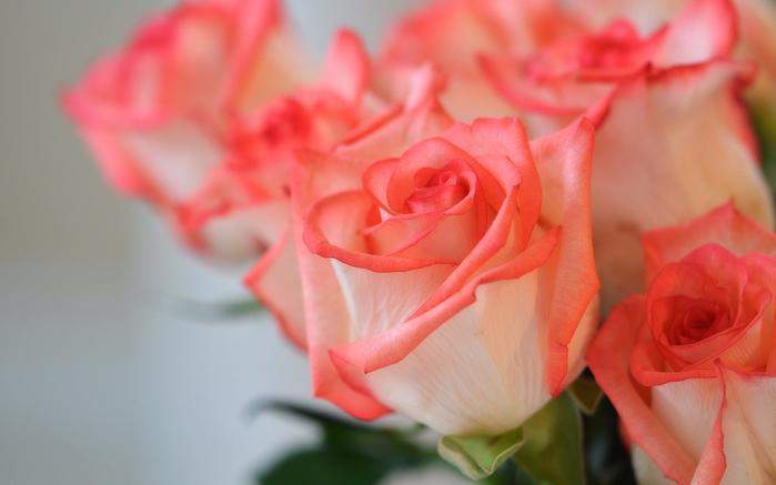 Роза с капельками росы и дождя2-1а (700x437, 256Kb)