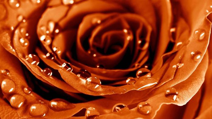 Роза с капельками росы и дождя2в-1 (700x393, 322Kb)