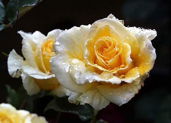 Роза с капельками росы и дождя3 (561x405, 139Kb)