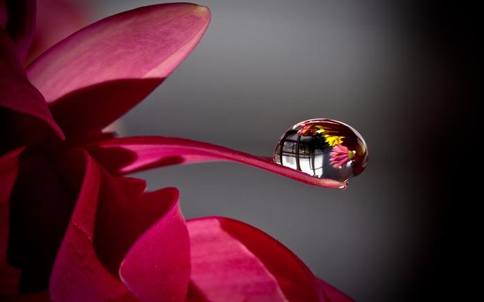 Роза с капельками росы и дождя5аа (700x437, 232Kb)