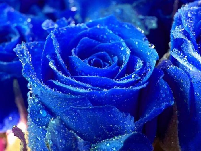 Роза с капельками росы и дождя6аа (700x525, 441Kb)