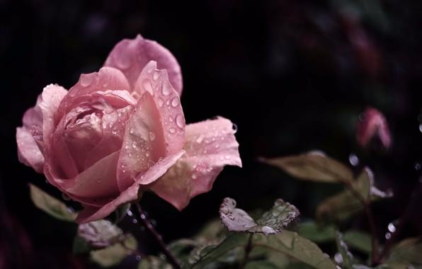 Роза с капельками росы и дождя6д (596x380, 136Kb)