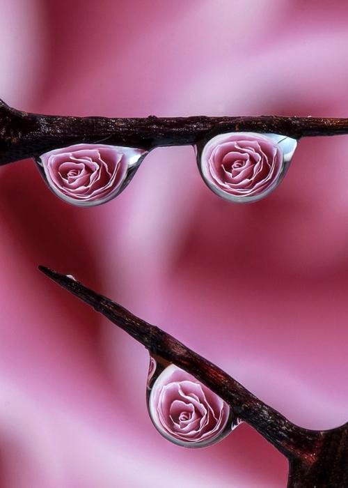 Роза с капельками росы и дождя16 (500x700, 285Kb)