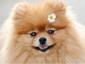 померант с цветком (300x225, 12Kb)