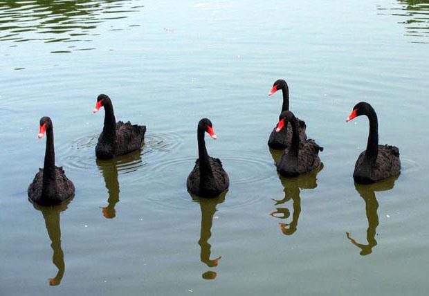 черные лебеди 18 (620x428, 153Kb)