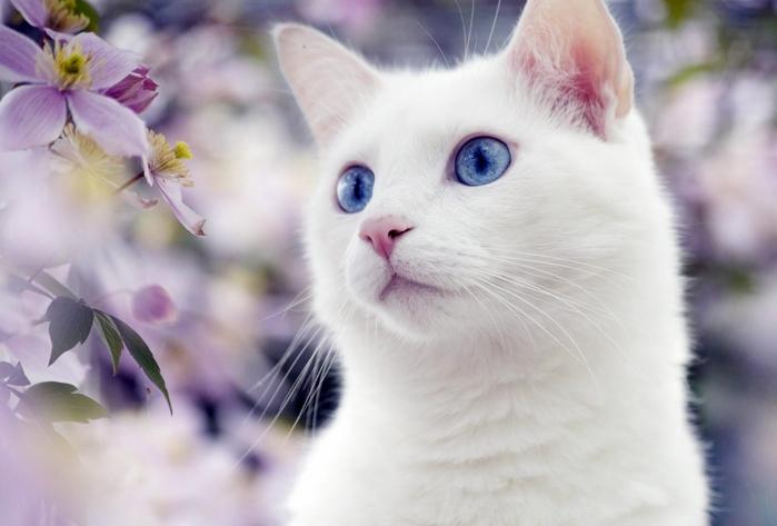 angora_cat_05 (700x473, 168Kb)