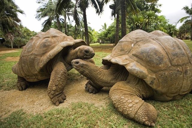 giant_tortoise (640x425, 343Kb)