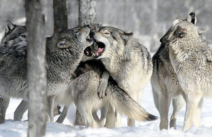 wolfpack (700x453, 86Kb)