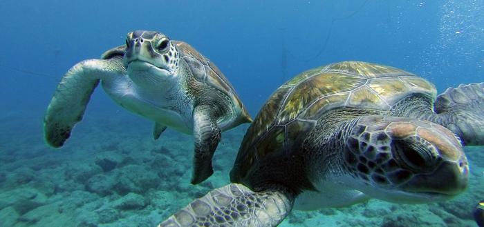 Turtles (700x329, 280Kb)