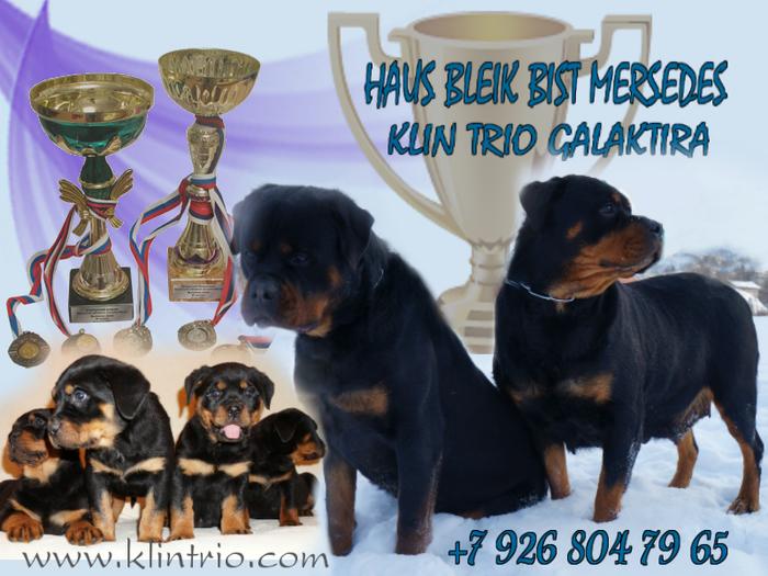 5079162_shenki_rotveilera_pitomnik_klin_trio (700x525, 418Kb)