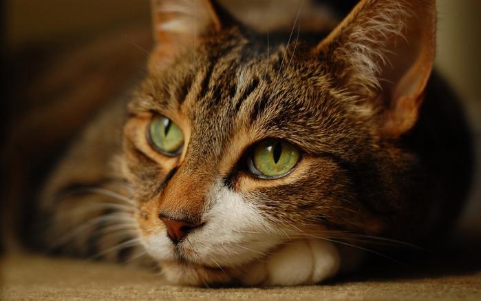 необычный кот/2976276_kot_krasivyiy_glaza_zelenyie_vzglyad_2 (700x437, 204Kb)