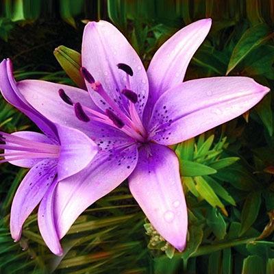 Specials Blue Heart Lily Plant Seeds Potted Bonsai Plant Lily Flower Seeds for Home Garden 50 Particles / lot/5863438_Skidkisiniivformeserdcalilirasteniivgorshkahbonsaizavodcvetokliliidlyadomasad18 (400x400, 65Kb)