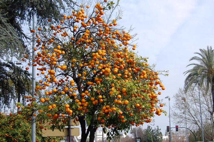 сбор апельсин в севилье 9 (700x467, 531Kb)