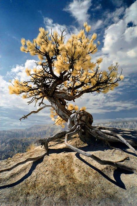 Странно-причудливые деревья 18 (468x699, 437Kb)