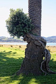 Странно-причудливые деревья 16 (236x354, 97Kb)