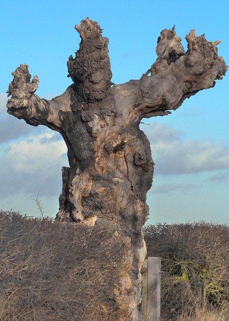 Странно-причудливые деревья 9 (470x657, 335Kb)