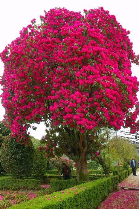 Странно-причудливые деревья жакаранда (465x700, 424Kb)