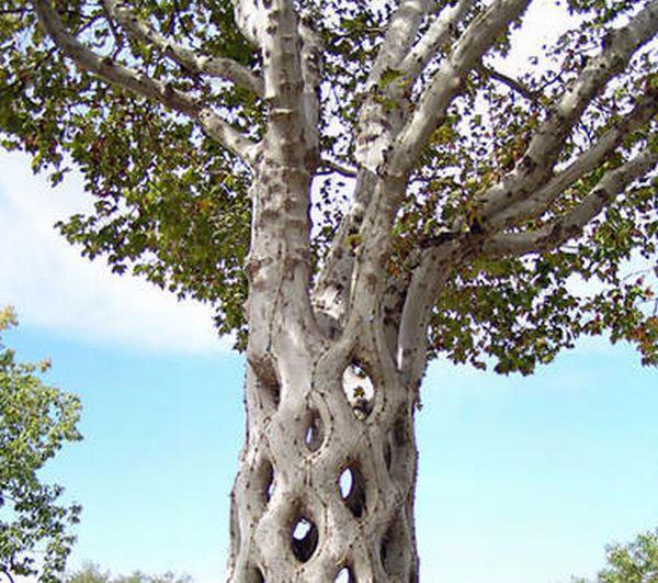 Странно-причудливые деревья 29 (600x531, 323Kb)