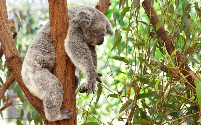 5956160-650-1453456196-koala-bear-sleeping-wallpaper-1 (650x306, 367Kb)
