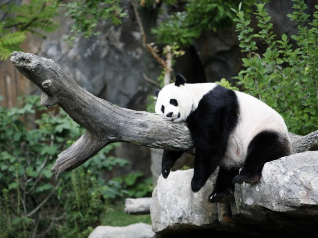 5956310-650-1453456196-sleeping-panda-sleepy (650x317, 280Kb)