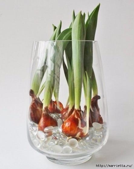 Выращивание тюльпанов в прозрачной вазе (6) (443x559, 111Kb)