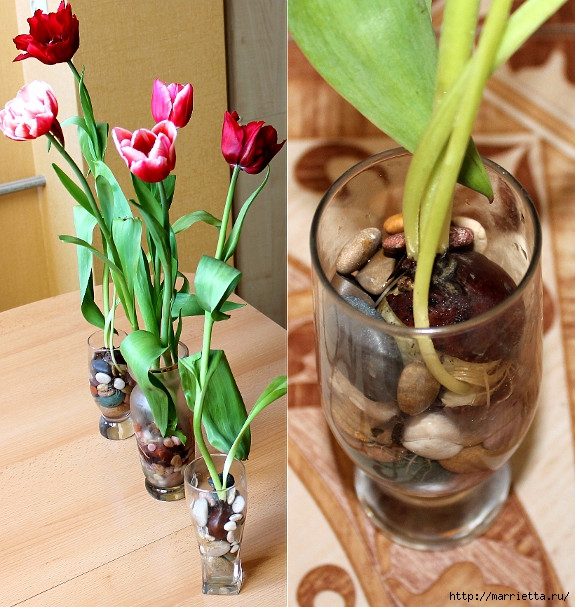 Выращивание тюльпанов в прозрачной вазе (8) (575x607, 274Kb)