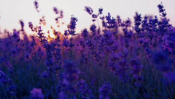 3085196_lavendersunset (600x338, 50Kb)