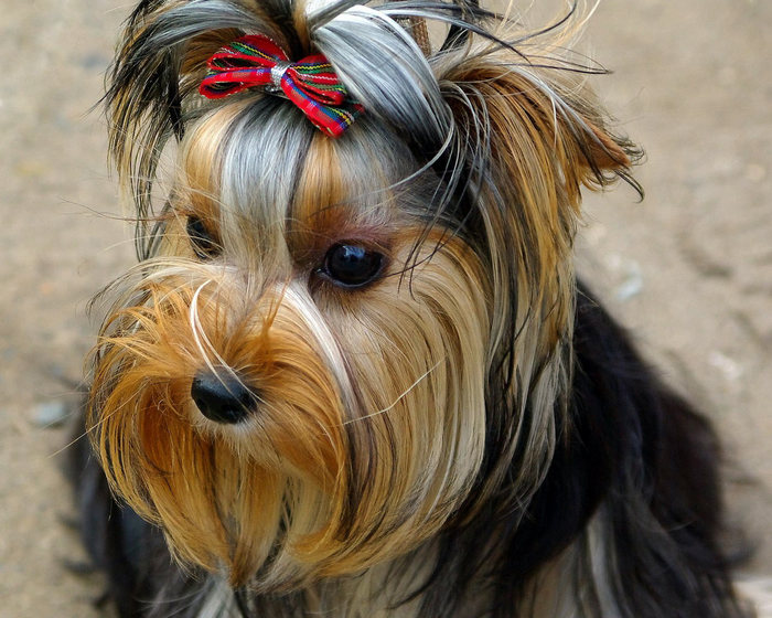 Yorkshire_terrier_01 (700x560, 108Kb)