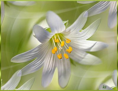 Белая-Лилия (400x309, 196Kb)
