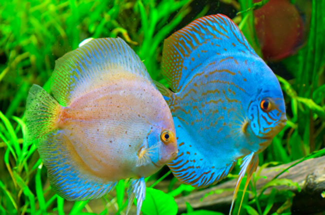 aquarium-fish-photos-tropical-fish (650x431, 294Kb)