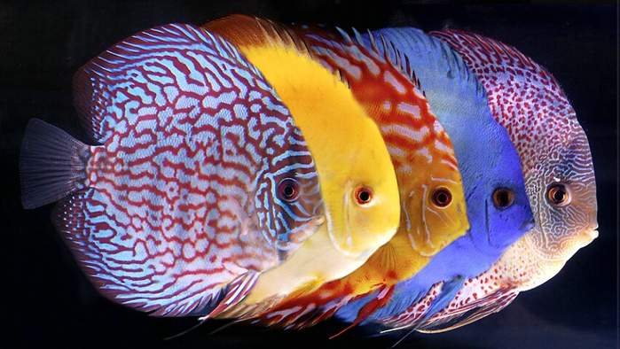 coloured-fish-photograph (700x394, 379Kb)